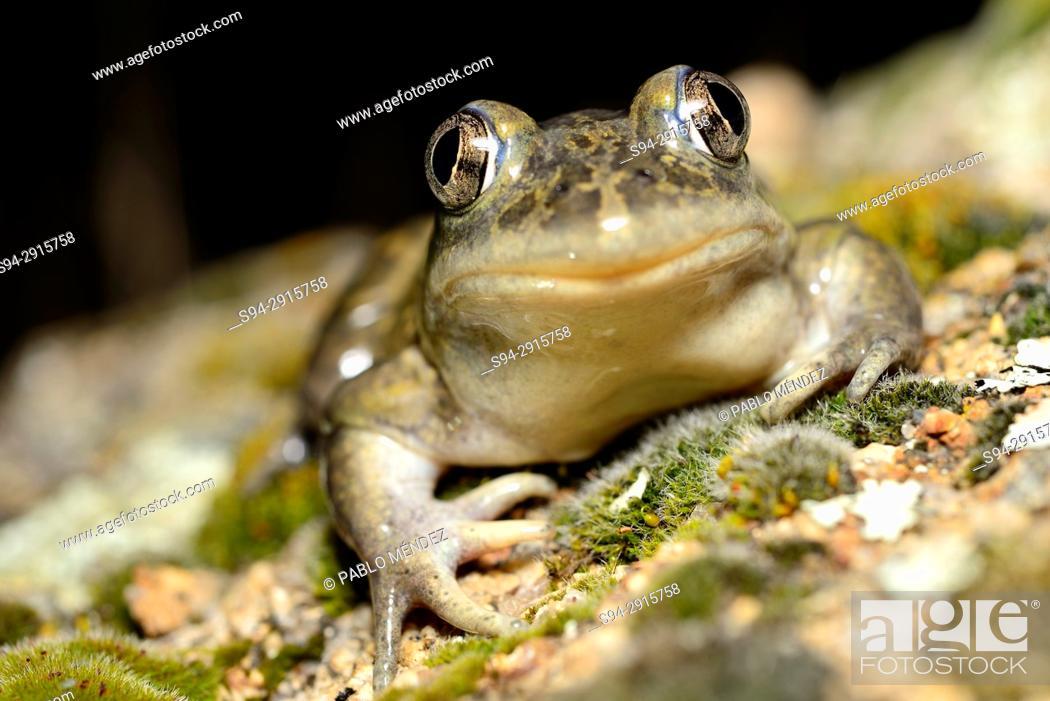 Stock Photo: Western spadefoot toad (Pelobates cultripes) in Valdemanco, Madrid, Spain.