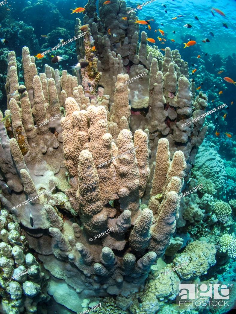 Stock Photo: Coral Tower Dendrogyra cylindrus. Red Sea, Sharm el-Sheikh, Egypt.