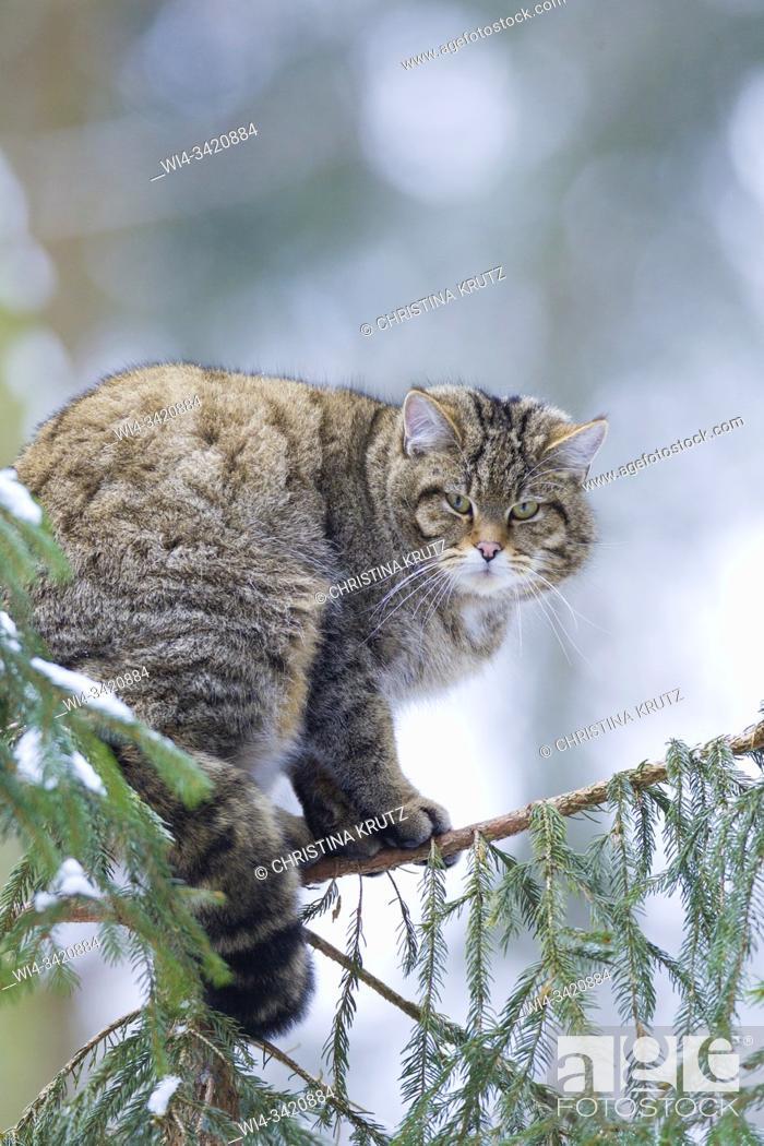 Stock Photo: European wildcat, forest wildcat (Felis silvestris silvestris), on tree in winter, Germany.