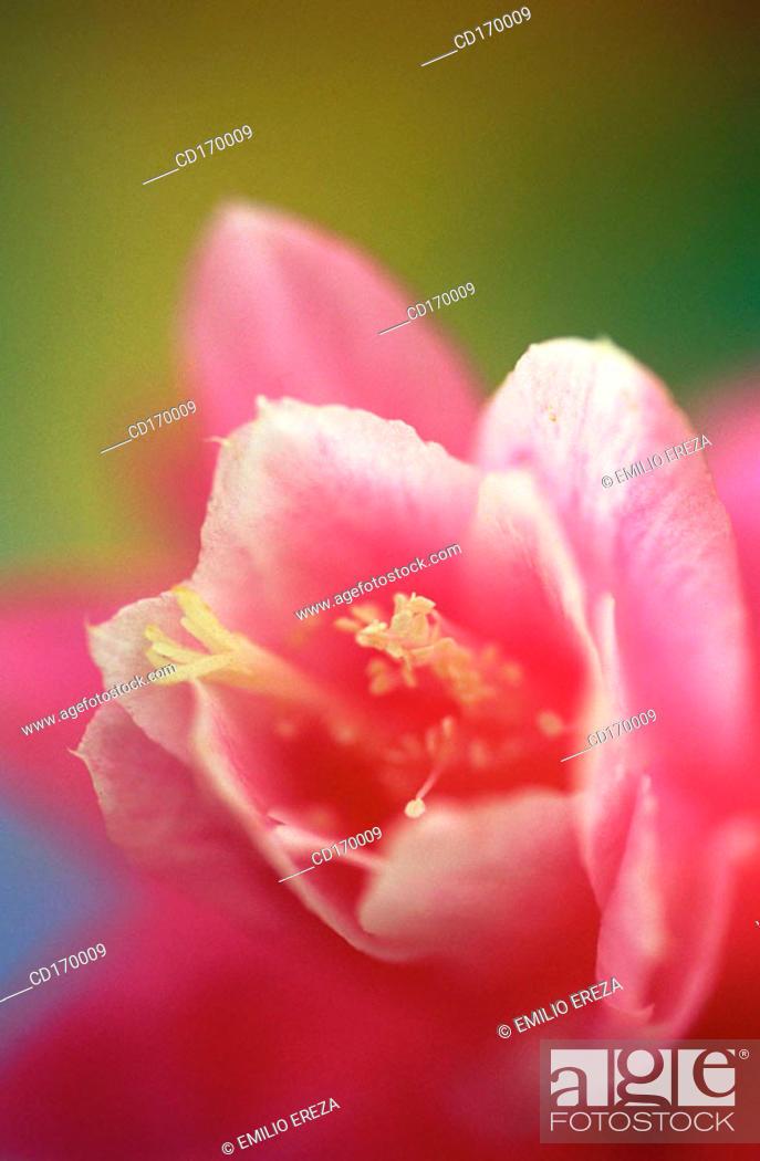 Stock Photo: Phyllocactus hybr.