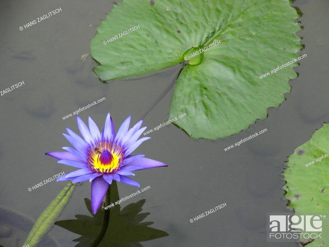 Stock Photo: Water lily in Hongkong Park, Hongkong, China, Asia.