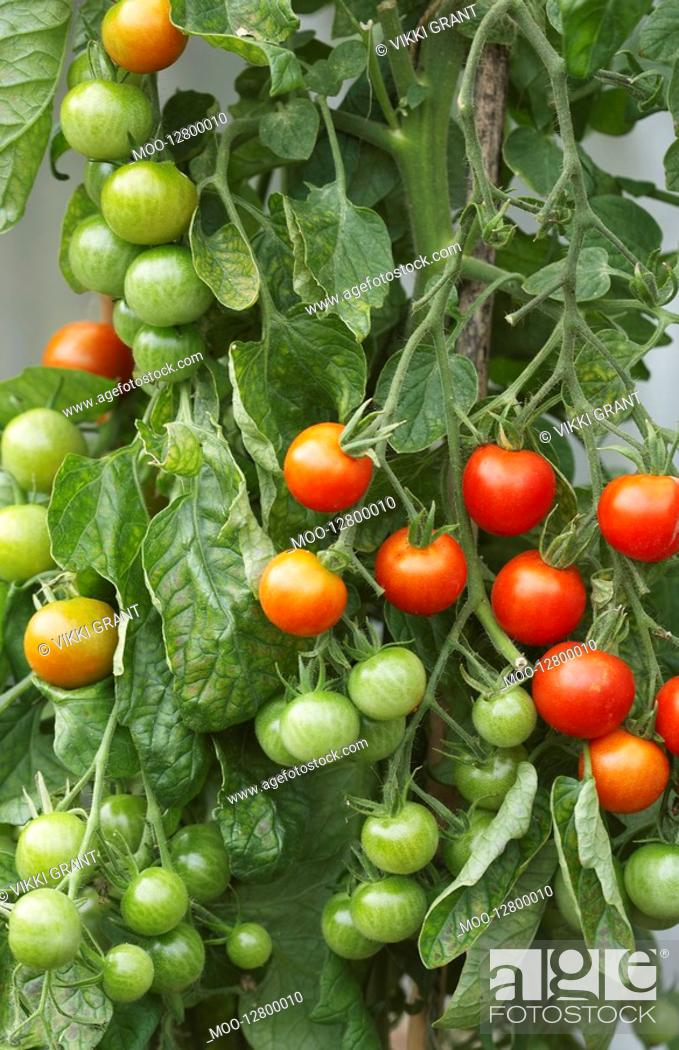 Stock Photo: Ripening Tomato Plant.