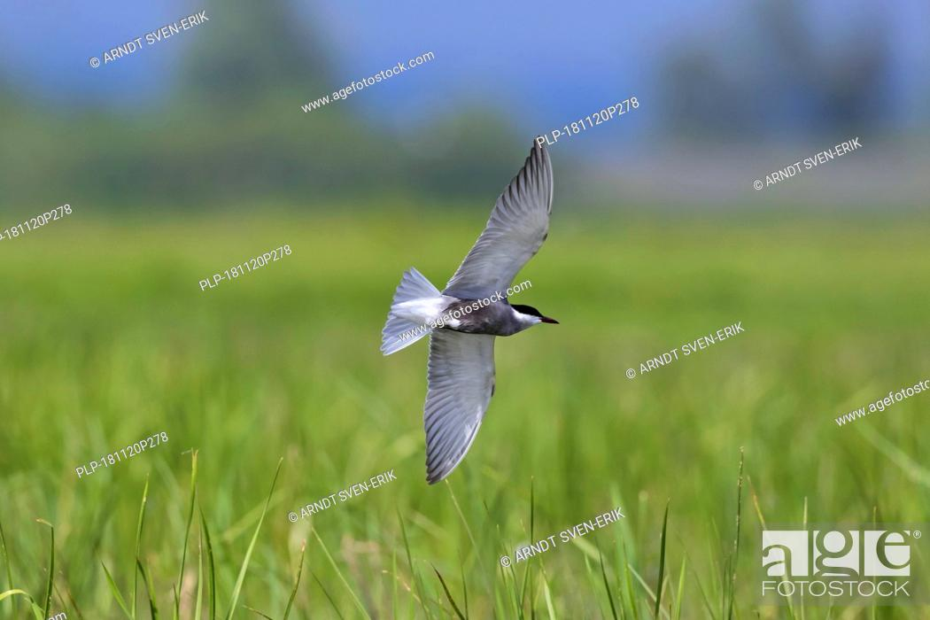Stock Photo: Whiskered tern (Chlidonias hybrida / Chlidonias hybridus) flying over wetland, migratory bird breeding on inland lakes, marshes and rivers in Europe.