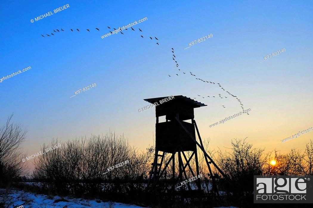 Stock Photo: Flying goose, Hunting hide, Sunset, Germany.