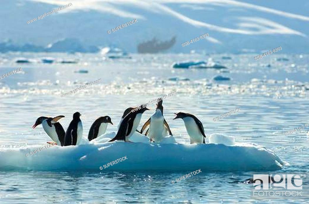 Imagen: ANTARCTICA, ANTARCTIC PENINSULA, NEKO HARBOR, GENTOO PENGUINS ON SMALL ICEBERG.