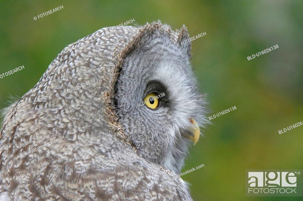 Stock Photo: Gray owl.