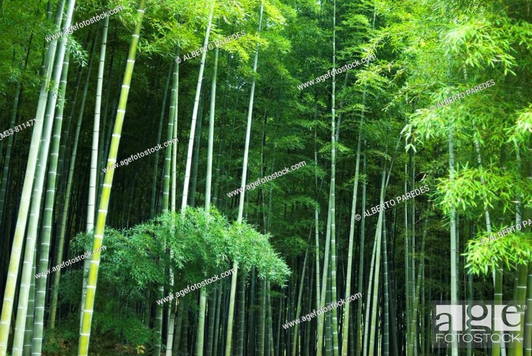 Stock Photo: Bamboo forest in Arashiyama park, Kyoto, Japan.
