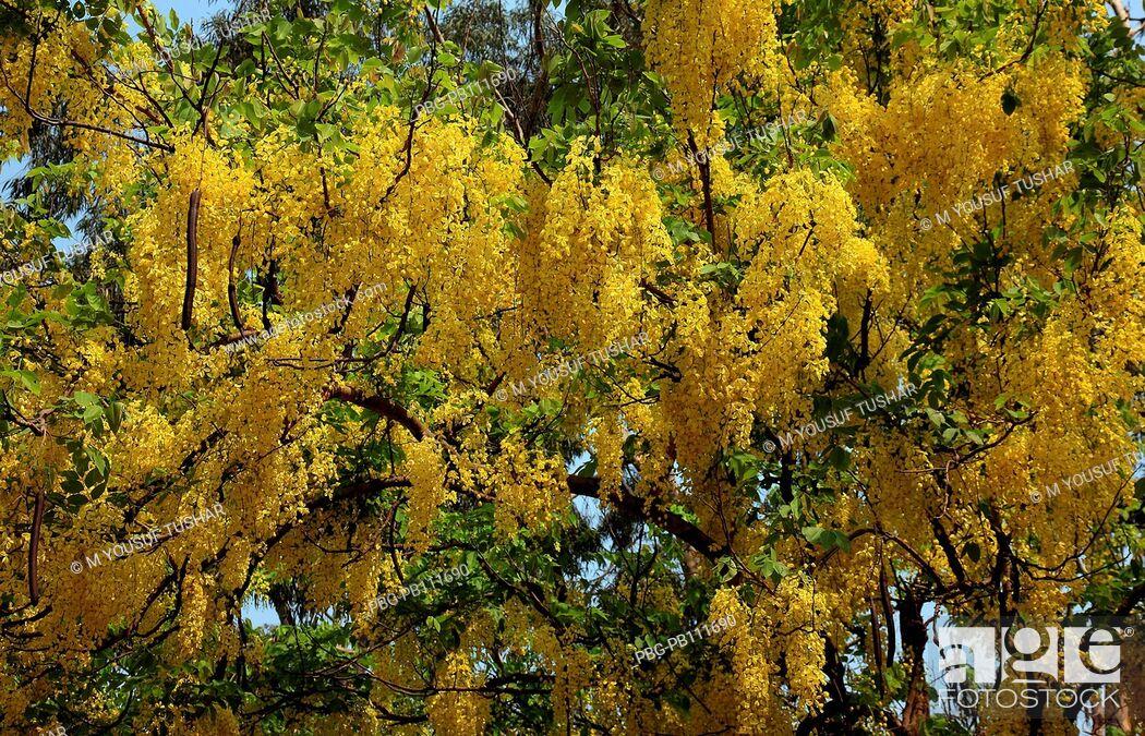 Imagen: Sonalu or Golden shower Flower Dhaka, Bangladesh.