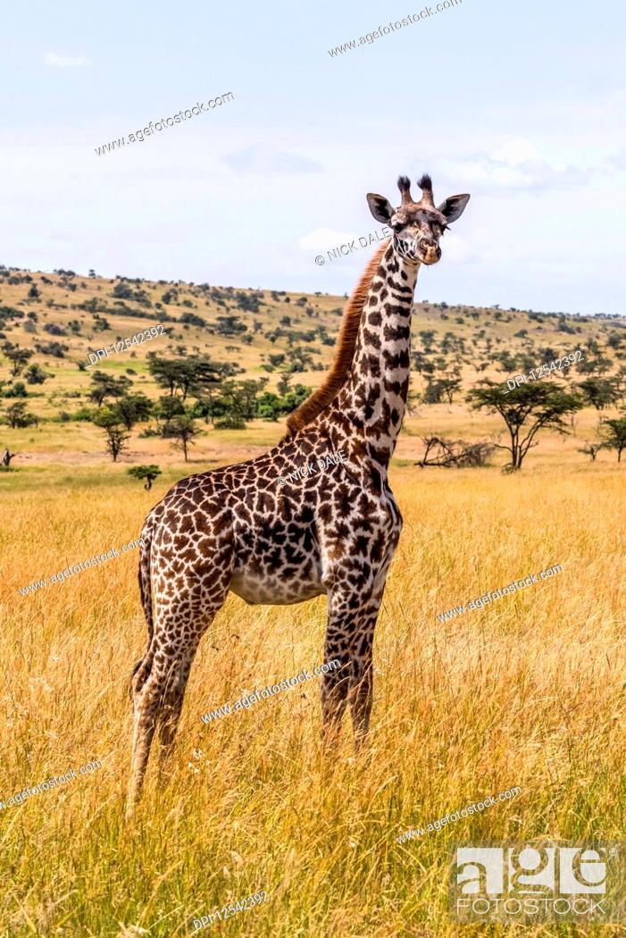 Stock Photo: Young Masai giraffe (Giraffa camelopardalis tippelskirchii) standing on savannah facing camera, Maasai Mara National Reserve; Kenya.