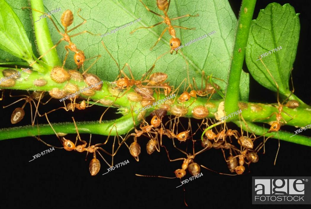 Stock Photo: A colony of weaver ants collecting and storing scale insects on leaves for food, Uepi, Solomon Islands.