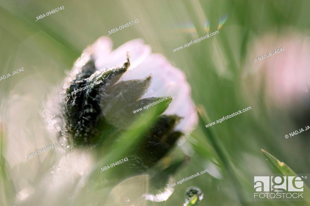 Stock Photo: daisy in wet meadow, close-up, Bellis perennis.