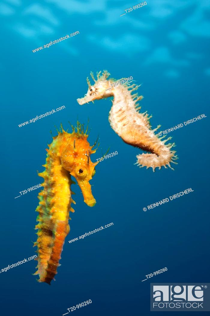 Stock Photo: Couple of Mediterranean Seahorse, Hippocampus ramulosus, Majorca, Balearic Islands, Mediterranean Sea, Spain.