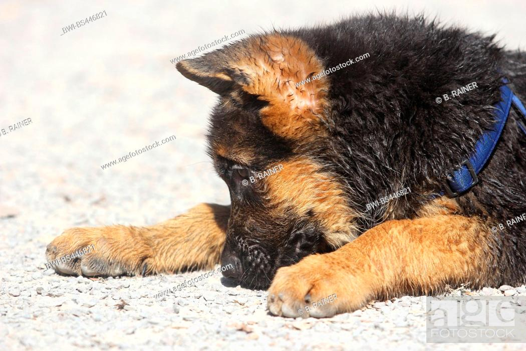 Stock Photo: German Shepherd Dog (Canis lupus f. familiaris), three months old wet whelp lying on a path, portrait, Germany.