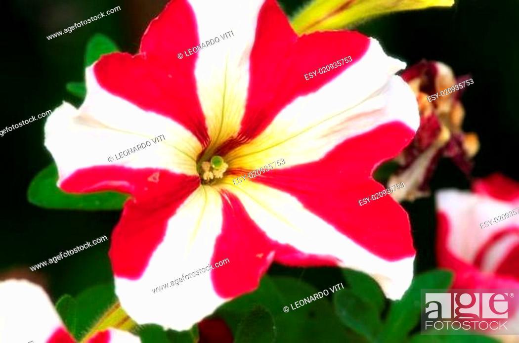 Stock Photo: petunia.