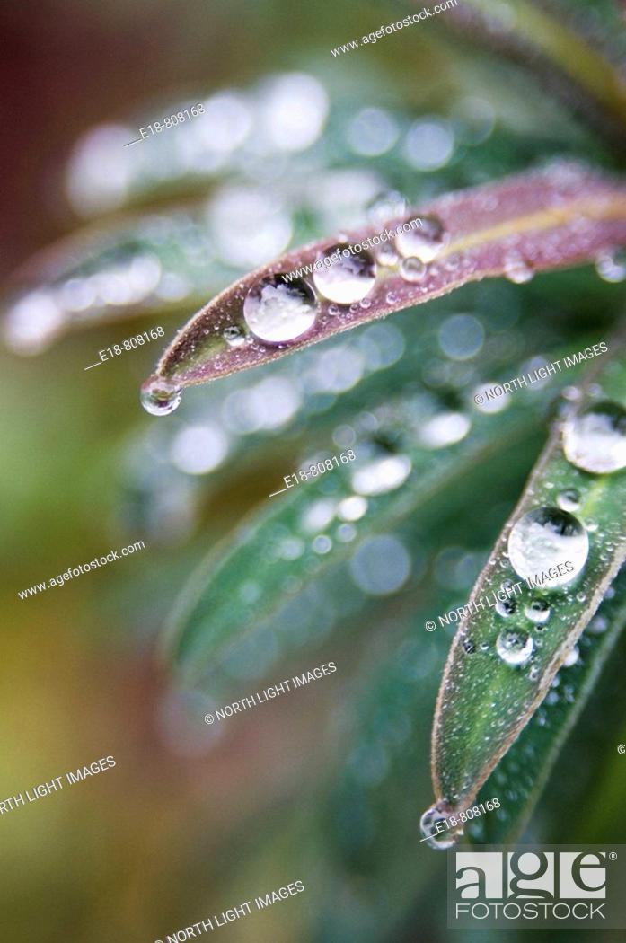 Stock Photo: Canada, BC, Ladner  Waterdrops on euphorbia plant in residential garden.