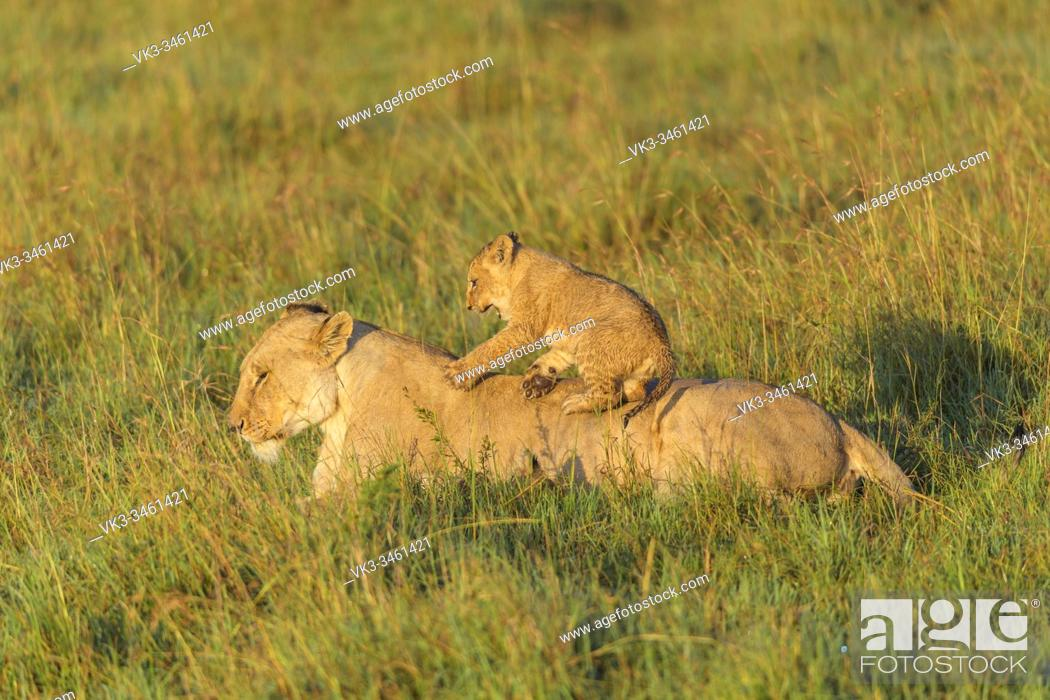Imagen: African lion, Panthera Leo, female with cub, Masai Mara National Reserve, Kenya, Africa.
