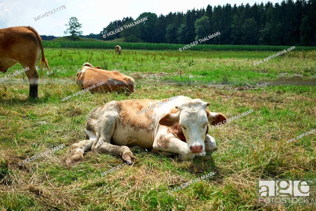 Stock Photo: Deutschland, Bayern, Iffeldorf, Kühe auf der Weide.