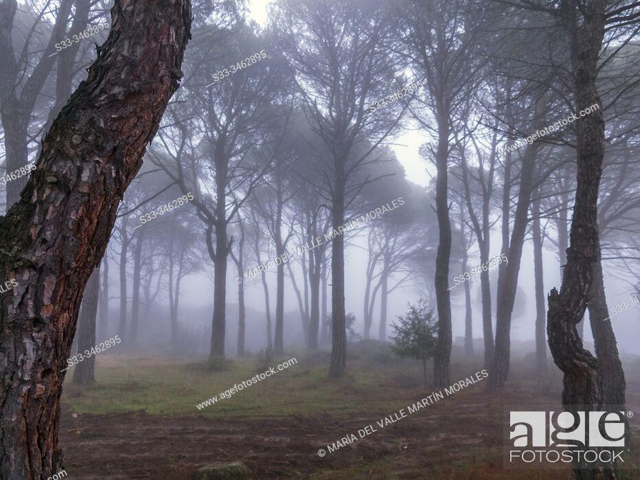 Stock Photo: Fog in Concejo pinewood. Cadalso de los Vidrios. Madrid. Spain. Europe.