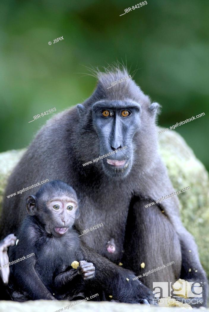 Imagen: Celebes Crested Macaque or Crested Black Macaque (Macaca nigra), adult female feeding with an infant, native to Borneo, Celebes.