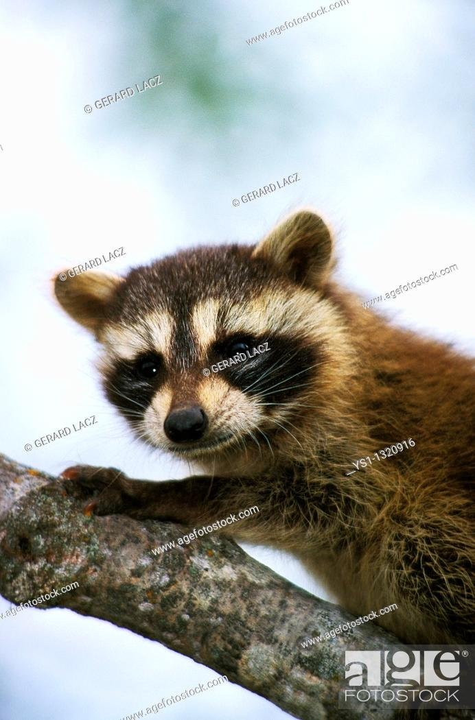 Stock Photo: RACCOON procyon lotor, YOUNG ON BRANCH.