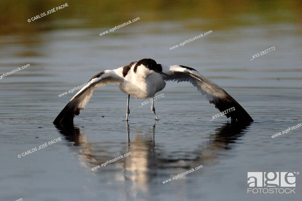 Stock Photo: Avoceta Común (Recurvirostra avosetta) en un humedal español.