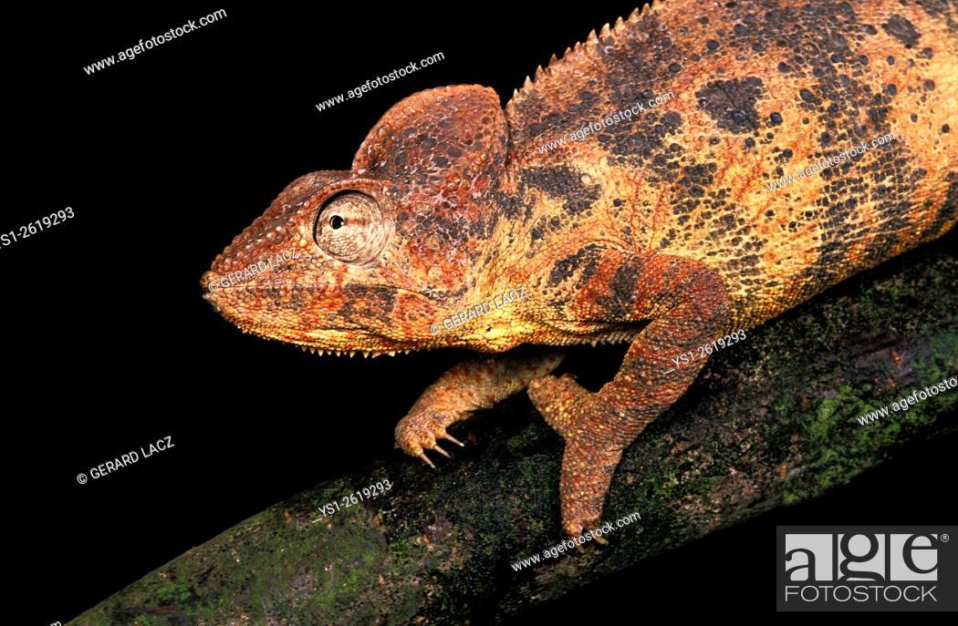 Stock Photo: Oustalet's Chameleon, chamaeleo oustaleti, standing on Branch against Black Background.