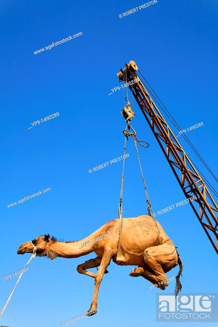 Stock Photo: Turkmenistan - Ashgabat - Sunday Market - Camel being hoisted into the back of a truck.