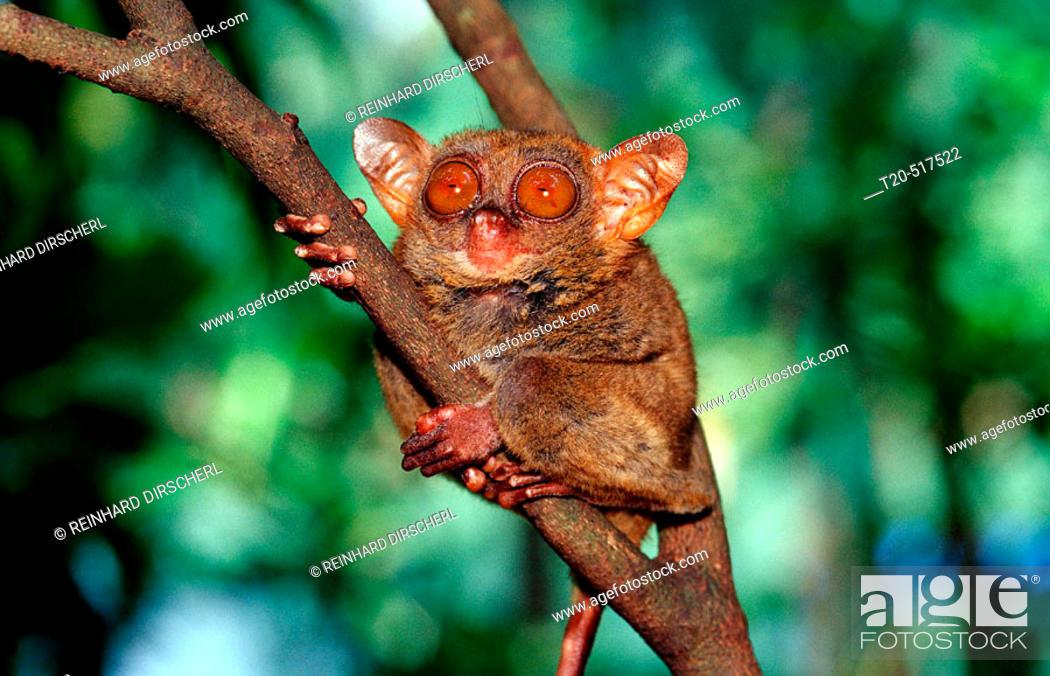 Stock Photo: Philippine tarsier, Tarsius syrchta. Bohol, Philippines Island.
