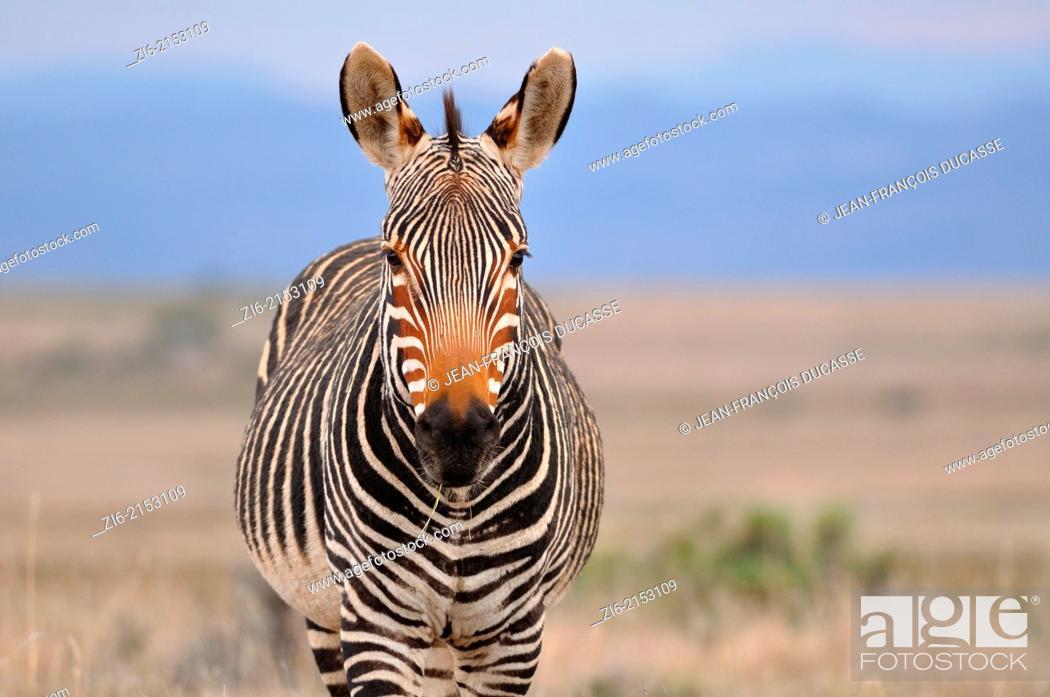 Stock Photo: Cape mountain zebra (Equus zebra zebra), Mountain Zebra National Park, Eastern Cape, South Africa, Africa.