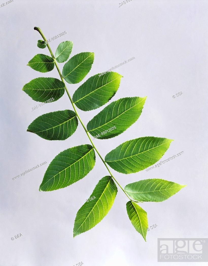 Stock Photo: American Black Walnut even-pinnated leaf (Juglans nigra), Juglandaceae.