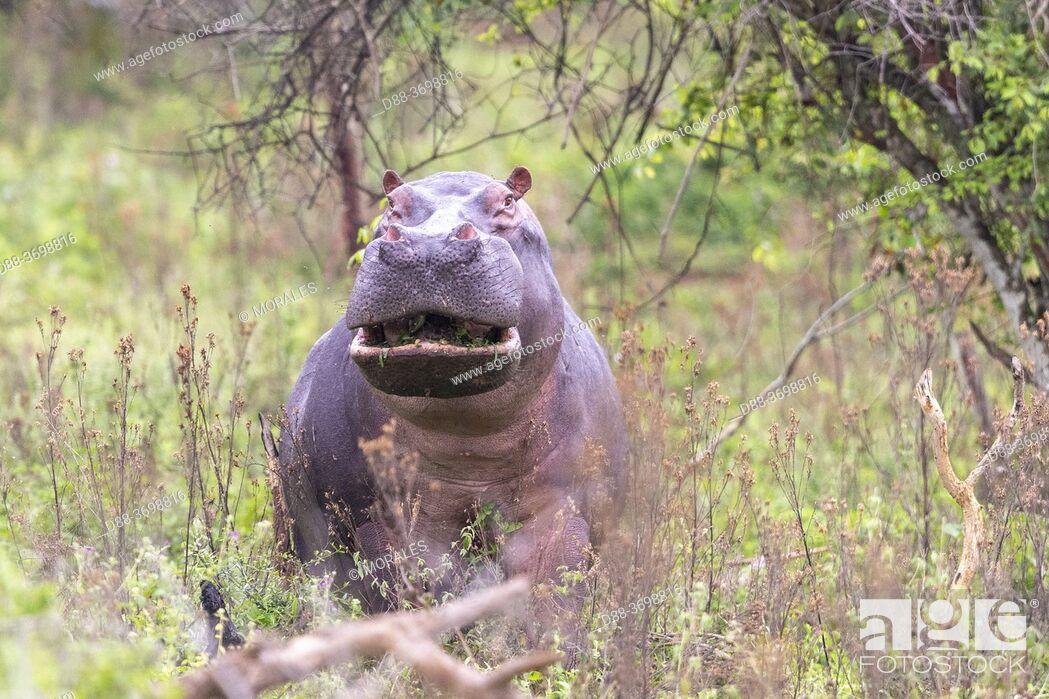 Photo de stock: Amphibious Hippopotamus or Common Hippopotamus (Hippopotamus amphibius), outside the water, aggresive attitude, Lake Mburo National Park, Uganda, Africa.