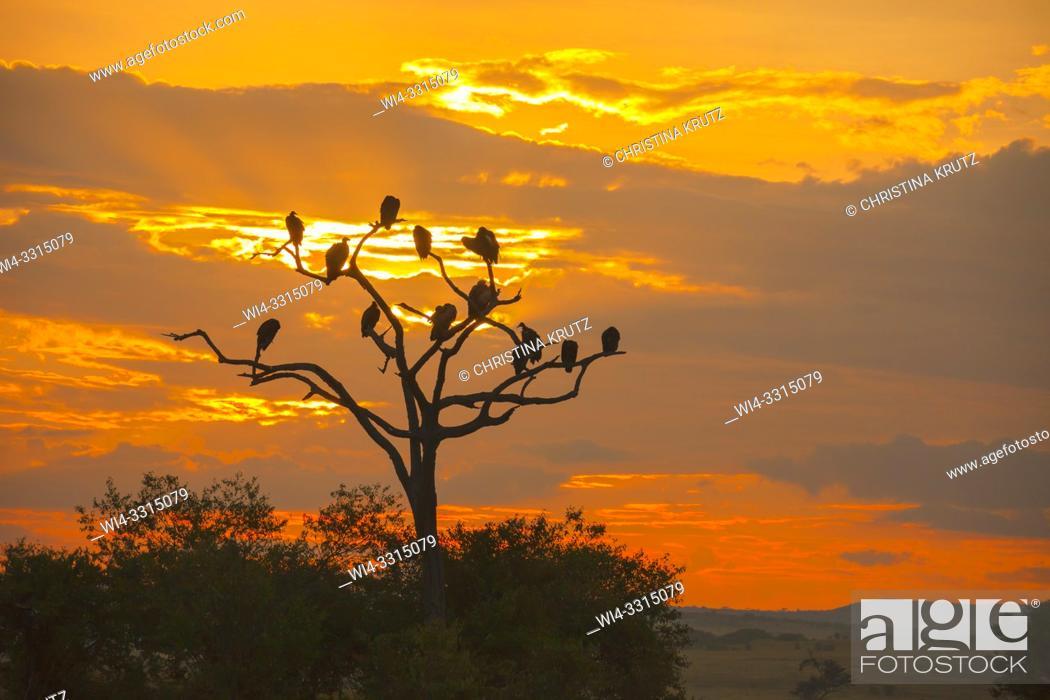 Stock Photo: Vultures silhouetted in a dead tree at sunrise, Kenya Maasai Mara National Reserve, Kenya.