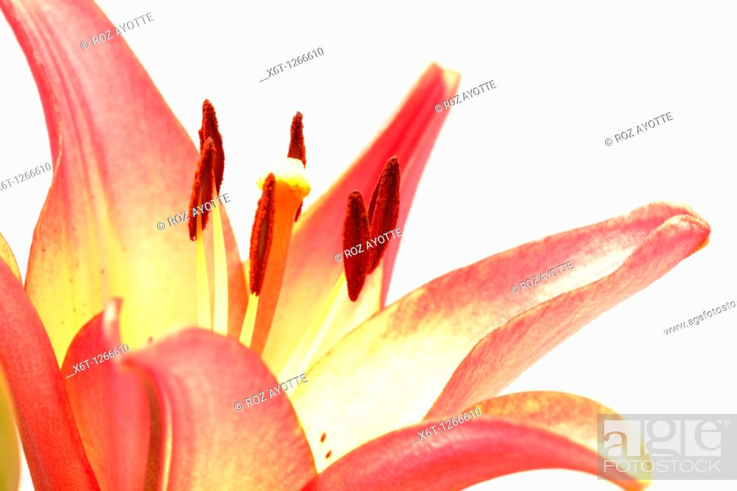 Stock Photo: Close-up of a lily in bloom.