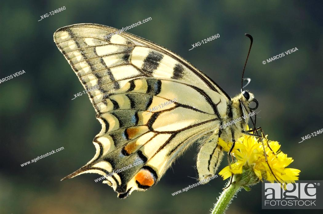 Stock Photo: Swallowtail Butterfly Papilio machaon.