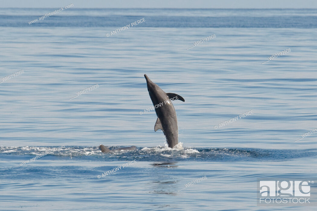 Imagen: Rough-toothed Dolphin, Steno bredanensis, breaching, Costa Rica, Pacific Ocean.