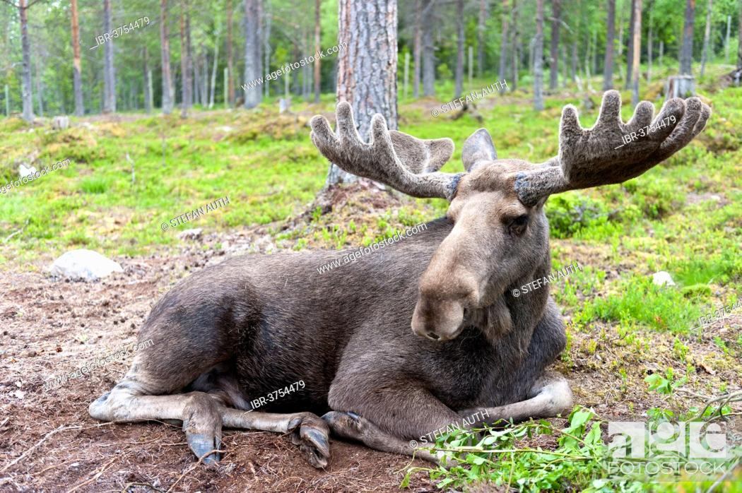 Stock Photo: Moose (Alces alces), bull lying in the woods with the palmate antlers in velvet, in a moose park, Mörkret, Dalarna County, Sweden.