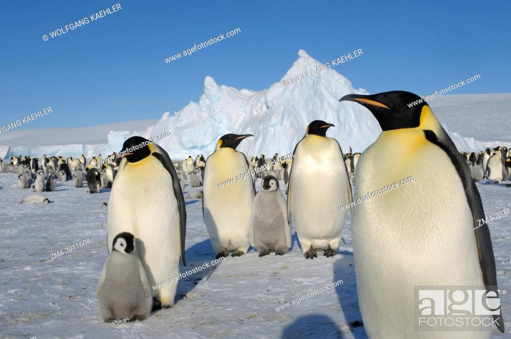 Stock Photo: ANTARCTICA, WEDDELL SEA, SNOW HILL ISLAND, EMPEROR PENGUIN COLONY Aptenodytes forsteri WITH CHICKS, ADULTS WITH CHICKS IN FOREGROUND.