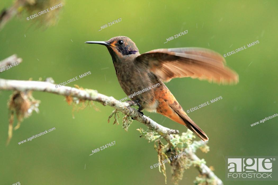 Stock Photo: Brown Violetear, Colibrí delphinae, Venezuela.