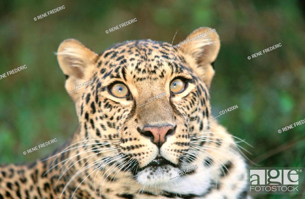 Stock Photo: Leopard (Panthera pardus), captive. Florida. USA.