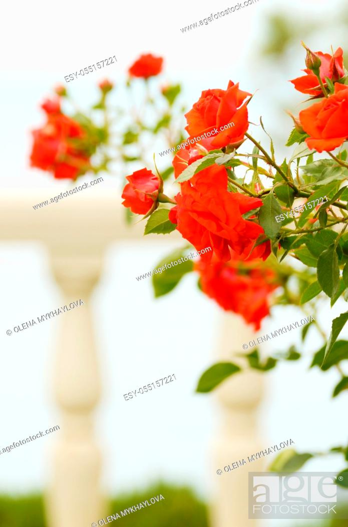 Stock Photo: Red rose flower stone fence background.