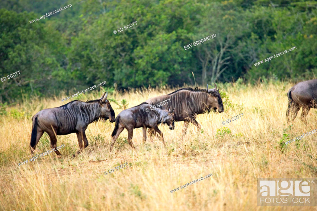 Stock Photo: Wildebeests, game drive in the Phinda private game reserve. KwaZulu-Natal province, South Africa.