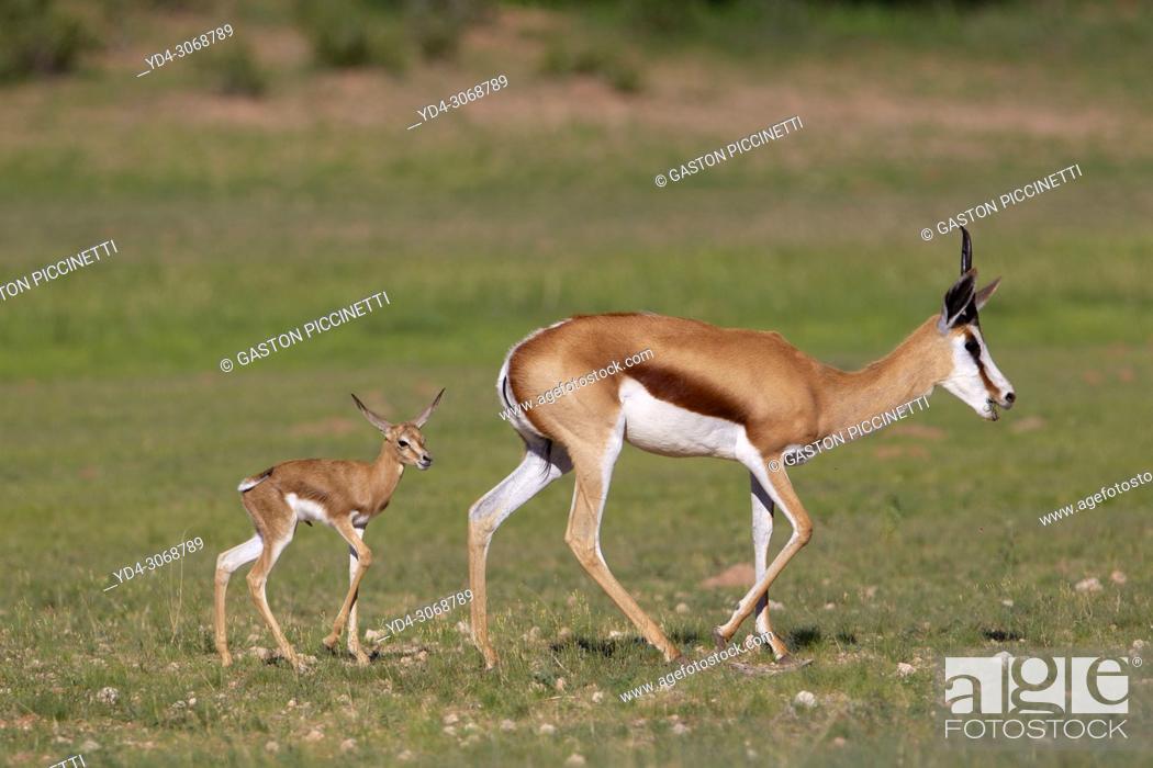 Stock Photo: Springbok (Antidorcas marsupialis)- Mother and Lamb, Kgalagadi Transfrontier Park, Kalahari desert, South Africa/Botswana.