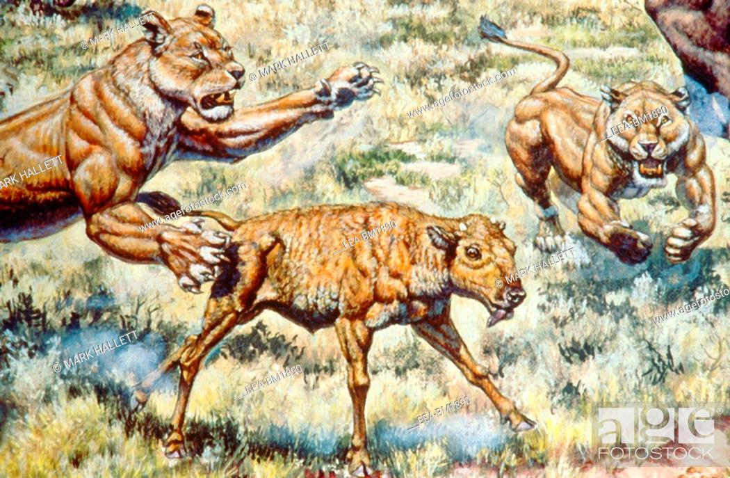 Stock Photo: American Lion Panthera leo atrox females attacking bison calf, from the Pleistocene age Ice Age of North America.