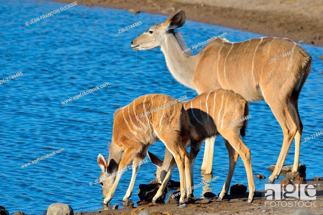 Stock Photo: Greater kudus (Tragelaphus strepsiceros), adult female with two young, drinking at a waterhole, Etosha National Park, Namibia, Africa.