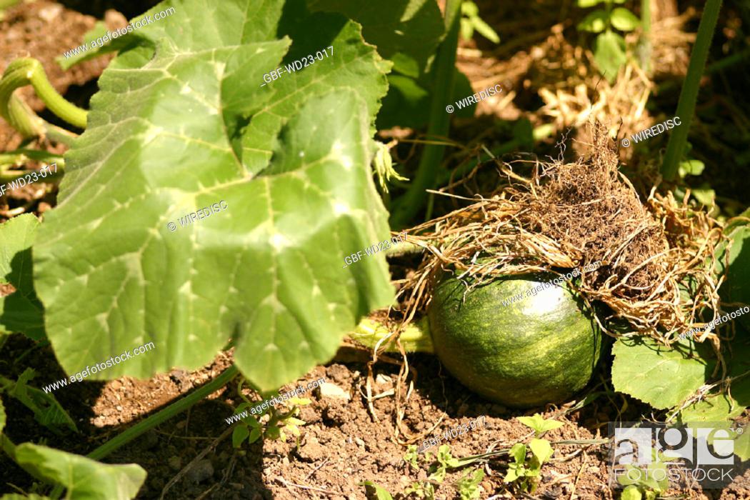 Stock Photo: Plantations, squash, agriculture, Brazil.