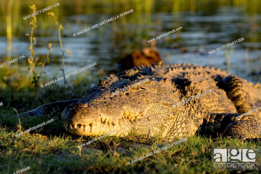Stock Photo: Nile crocodile Crocodylus niloticus, Chobe river, Chobe National Park, Botswana.