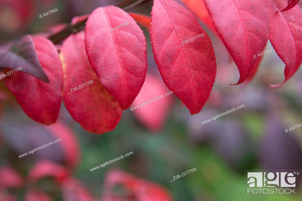 Stock Photo: Cranberry and purple leaves in autumn, Frelinghuysen Arboretum, Morristown, New Jersey, NJ, USA.