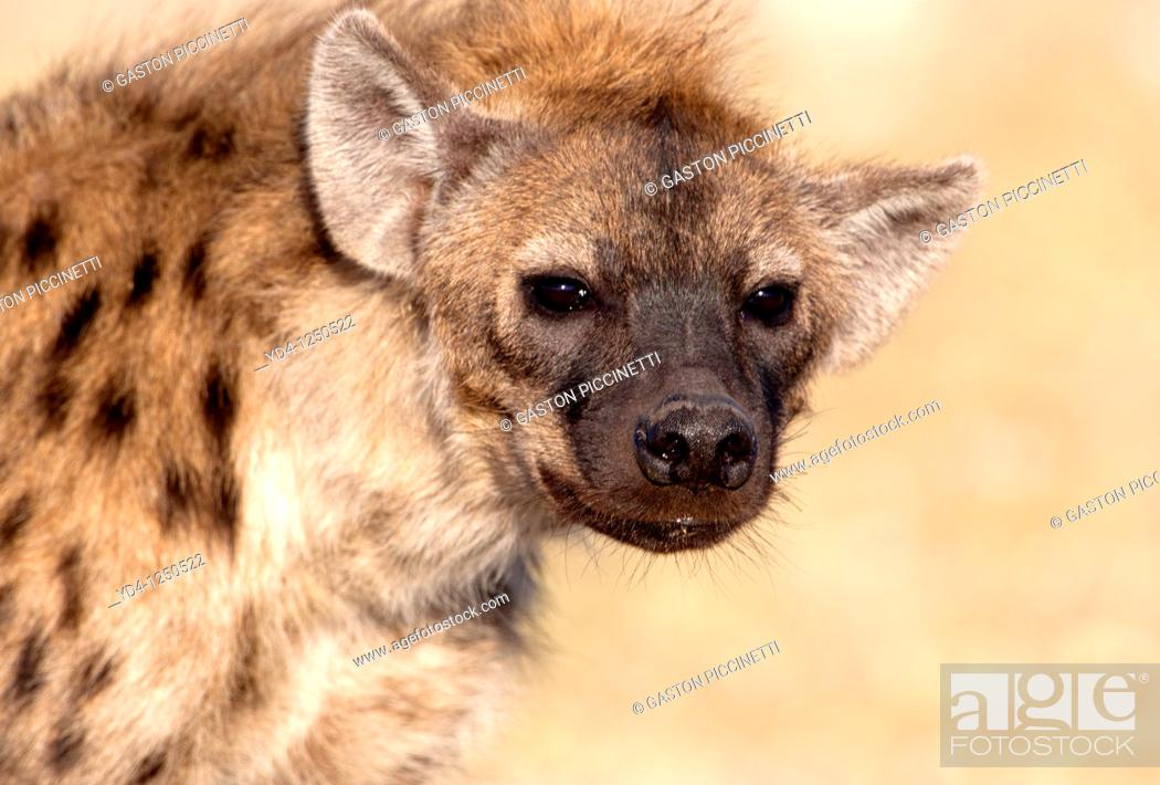 Stock Photo: Spotted hyaena Crocuta crocuta, Etosha National Park, Namibia.