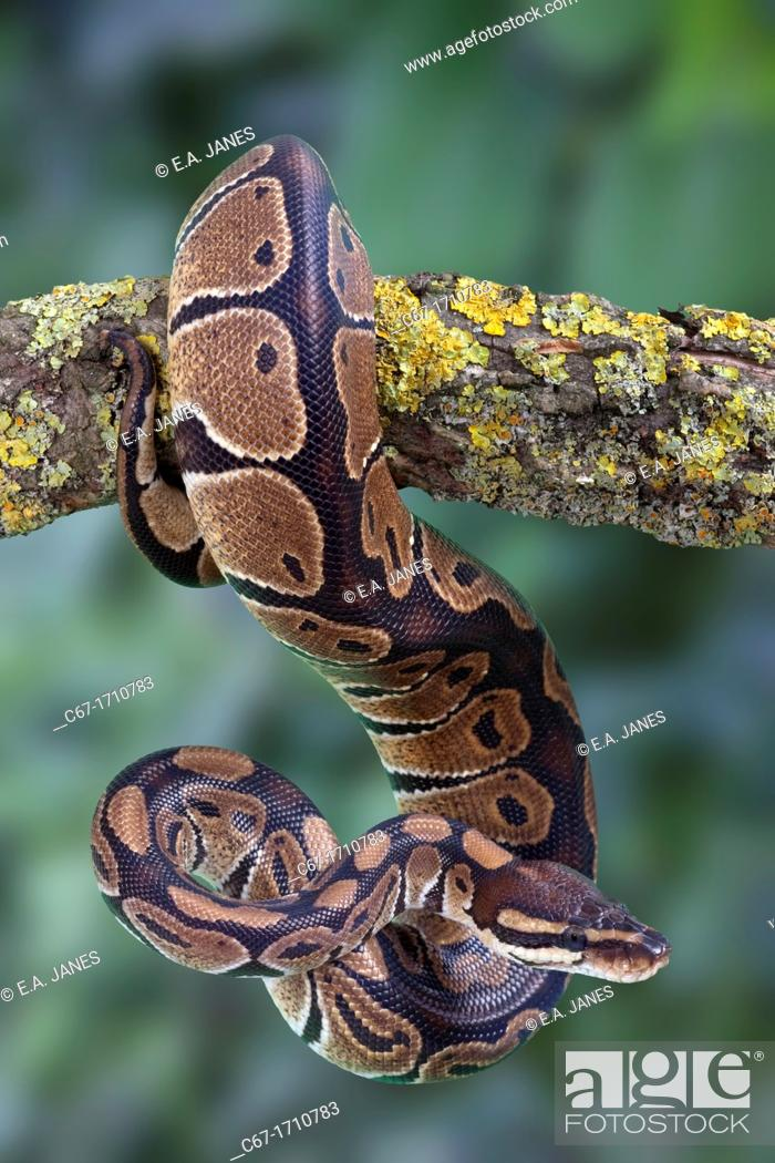 Stock Photo: Royal Python Python regius.