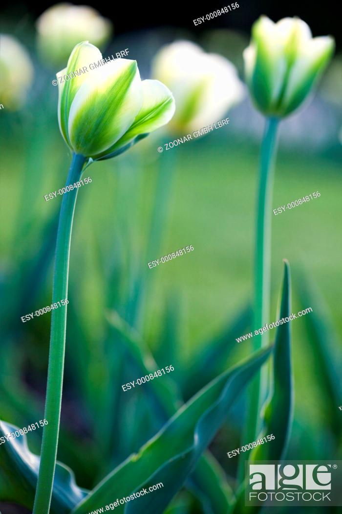 Stock Photo: White tulips in the field.